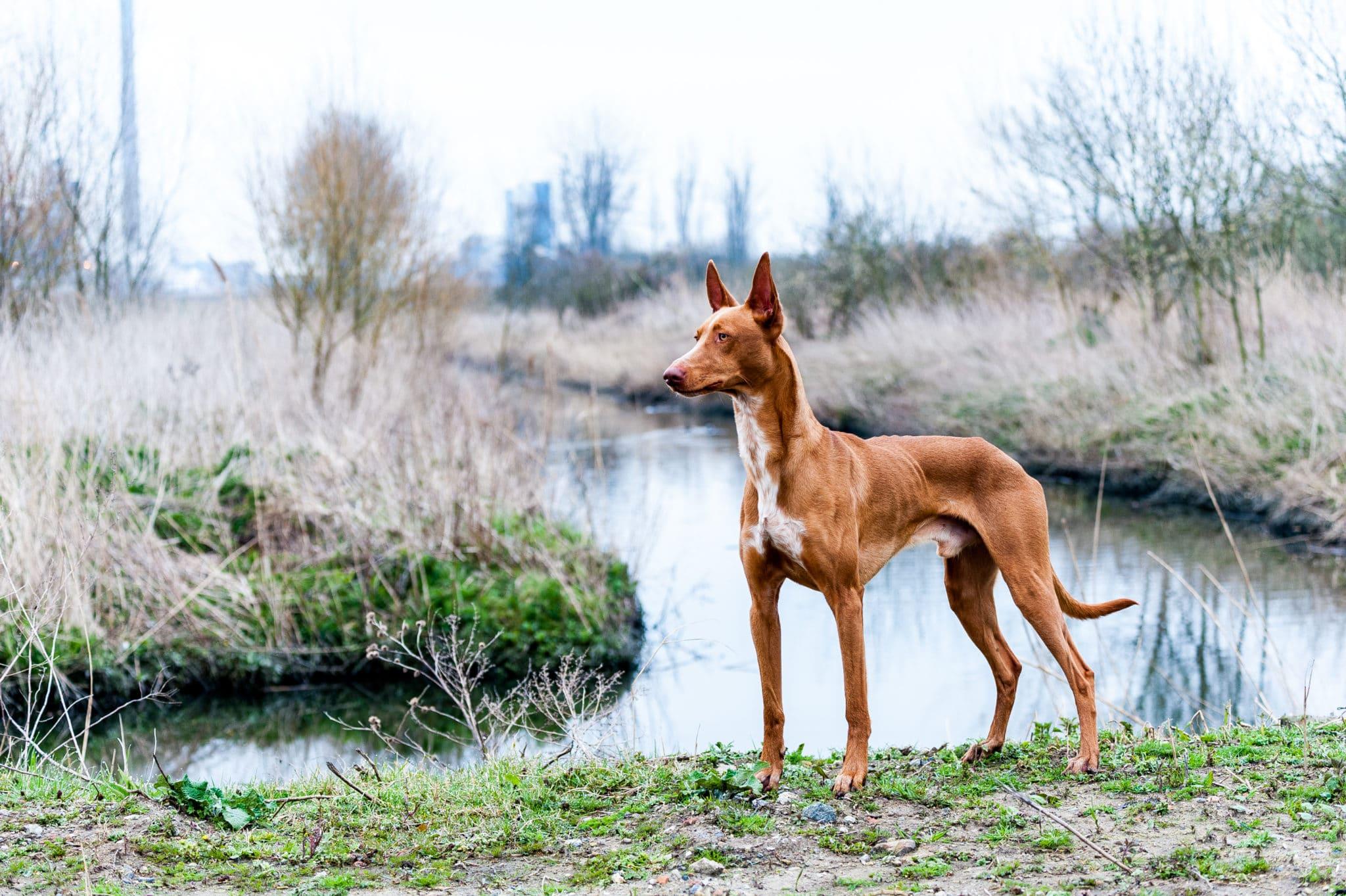 chien du pharaon